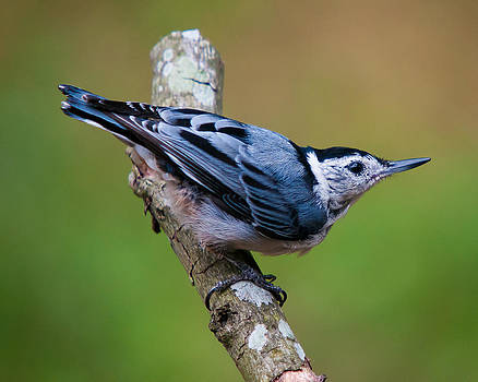 White-Breasted Nuthatch by Robert L Jackson