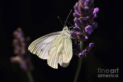 LHJB Photography - White butterfly on lavender against a black background