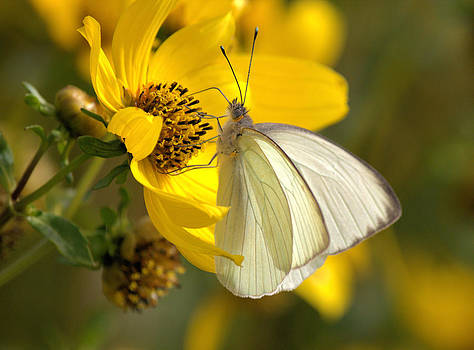 White Butterfly by Suzie Banks