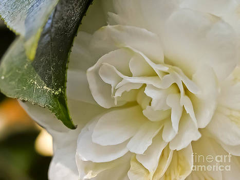 White Camellia 1 by David Doucot