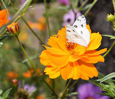 Cindy Nunn - White Checkered Butterfly 1