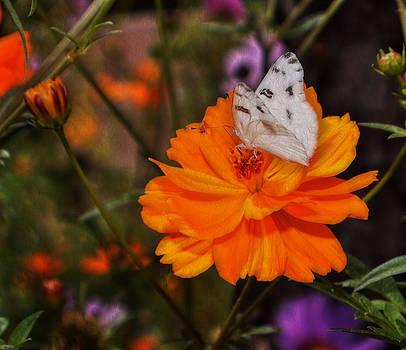 Cindy Nunn - White Checkered Butterfly 8