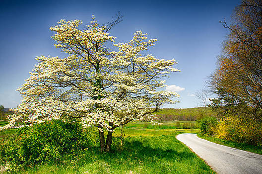 White Cherry Blossom  by Dheeraj Mallemala