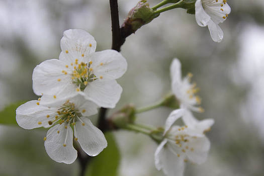 White Cherry Blossoms  by Alfredia Mealing