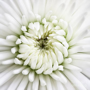 Kate McKenna - White Chrysanthemum 2
