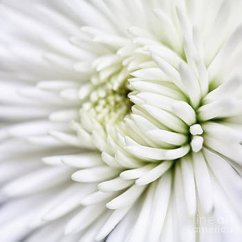 Kate McKenna - White Chrysanthemum