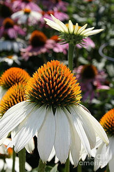 White Cone flower by Kathy DesJardins