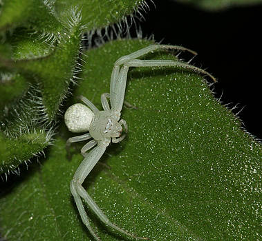 White Crab Spider by April Wietrecki Green