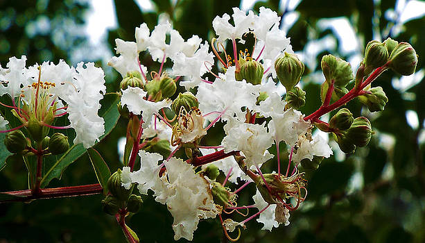 White Crepe Myrtle by Dawn  Gagnon