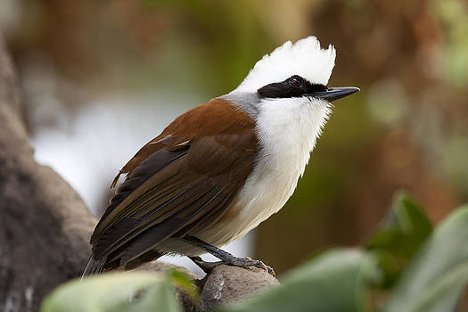 White-Crested Laughing Thrush by Gillian Dernie