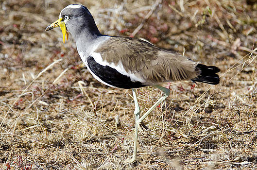 Pravine Chester - White-crowned Lapwing