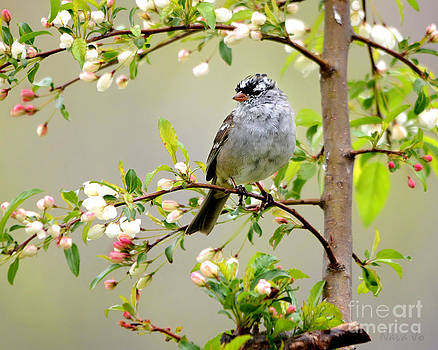 White-Crowned Sparrow by Nava Thompson