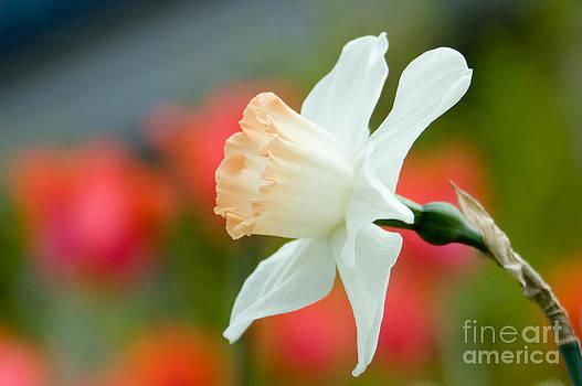 Oscar Gutierrez - White daffodil