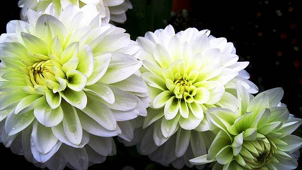 White Dahlia 3 by Will Boutin Photos