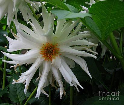 Ellen Miffitt - White Dahlia begins to fade