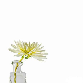Jan Hagan - White Dahlia Blossom
