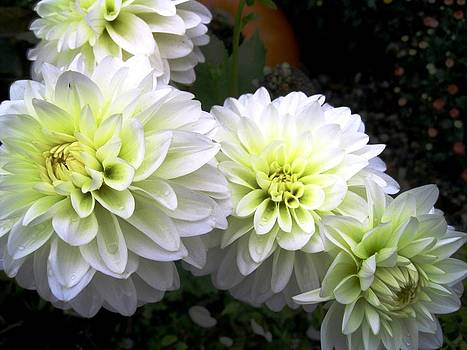 White Dahlia by Will Boutin Photos