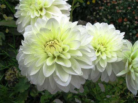 White Dahlias 2 by Will Boutin Photos