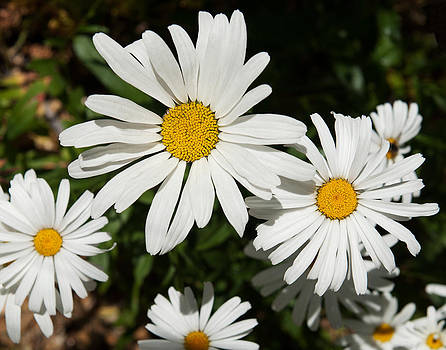 White daisy 2 by Sammy Miller