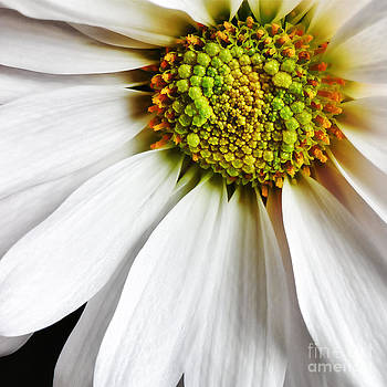 White Daisy Closeup by Madonna Martin
