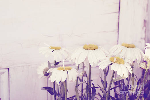 White daisy mums by Cindy Garber Iverson