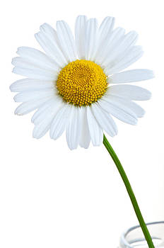 White Daisy by Picturegallery