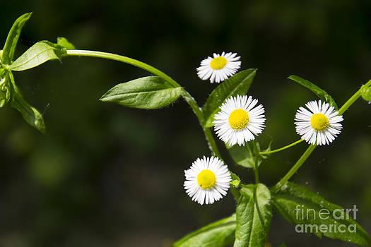 White daisy by Stefano Piccini