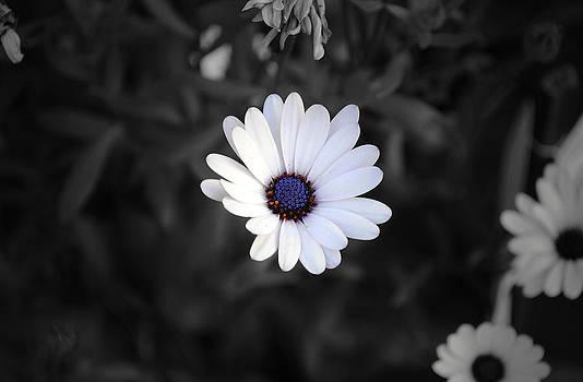 Sumit Mehndiratta - White daisy