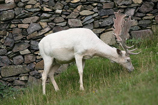 Mark Severn - white deer
