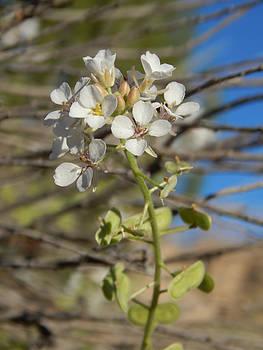 White Desert Flowers by Justyne Moore