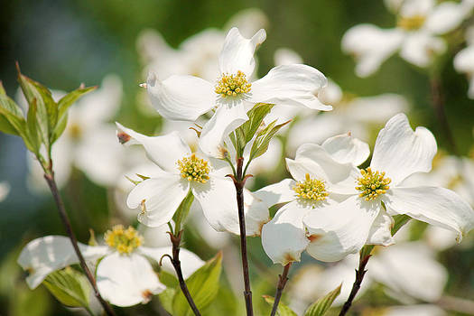 White Dogwood by Beckie Fitgerald