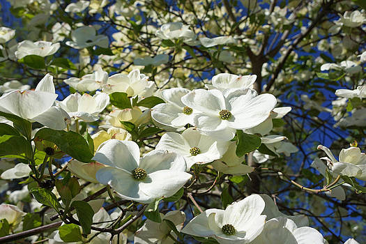 Baslee Troutman - White Dogwood Flower Blossoms Art Prints Trees