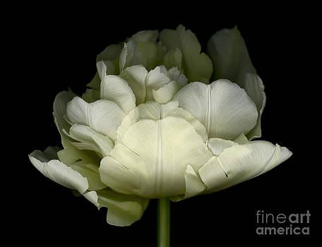 Oscar Gutierrez - White Double Tulip