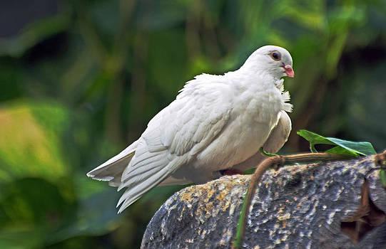 White Dove 2 by Cheryl Cencich