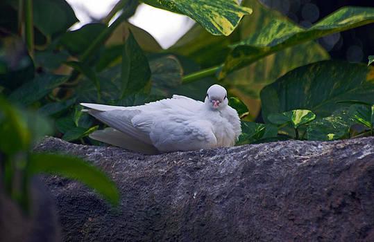 White Dove by Cheryl Cencich