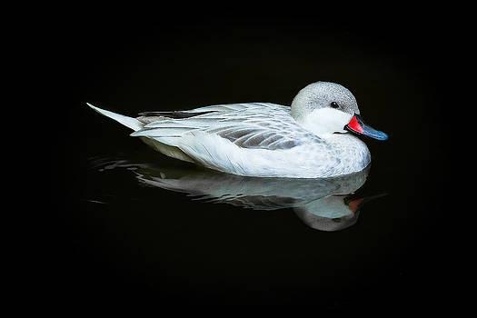 White Duck by David Johnson