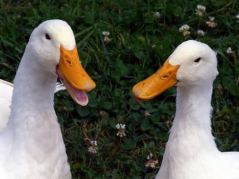 Christine Stack - White Ducks Quacking