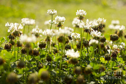 Beverly Claire Kaiya - White Dutch Clover Wild Plants in the Sunshine