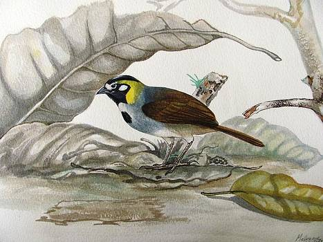 White-eared Ground Sparrow by Robin Schiele