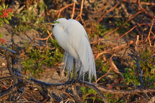 Patricia Twardzik - White Egret Branching Out