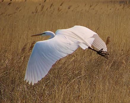 White Egret by Martha Kinel
