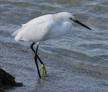 Patricia Twardzik - White Egret Stepping It Up