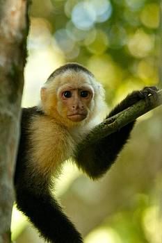 White-Faced Capuchin  by Gary Campbell