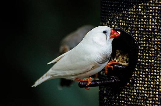 White Finch by Cheryl Cencich