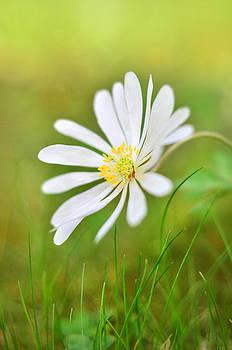 Gynt - White flower