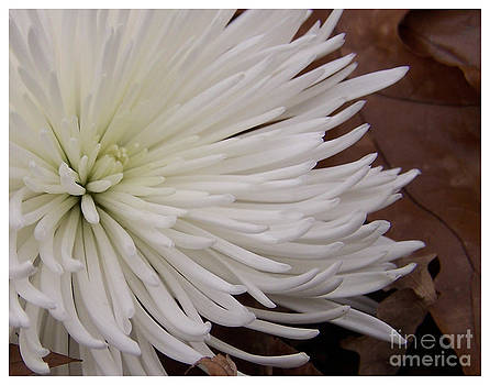 White Flower by Pamela Walters