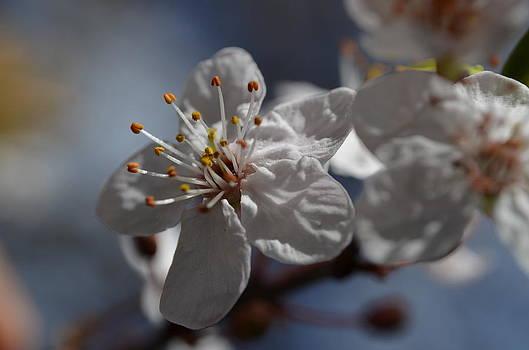 White Flower by Riad Belhimer