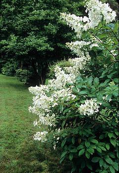 Harold E McCray - White Flowers