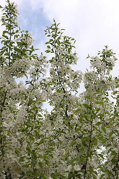 White Flowers on Branches by Michelle Miron-Rebbe