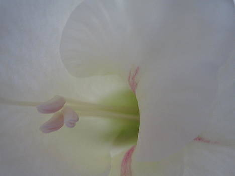 White gladiolus by Barbara Yearty